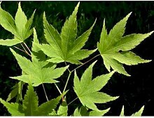 Acer palmatum (Fächerahorn) 80-100cm / 5l-Container (Laubgehölze)