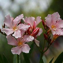AchidistviQ 50Pcs Gemischte Farbe Oleander Samen