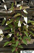 Acitinidia pilosula - spitzblättrige Kiwi 60 - 100 cm
