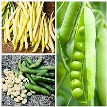 Ackerbohne, Erbse, Bohne - Samen von 3