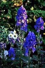 Aconitum carmichaelii 'Arendsii' -