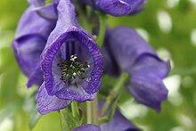 Aconitum carmichaelii 'Arendsii' (veg) - 2
