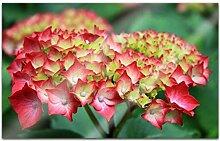 Acrylglasbilder 80x50cm Blume Hortensie rosa rot