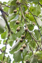Actinidia arguta Kiwi Pflanze Kletterobst mit