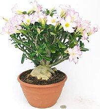 ADENIUM OBESUM ROSA XXL Echte Pflanze