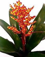 AECMEA Orange in Keramiktopf rot, echte Pflanze