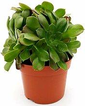 AEONIUM, Vase 13 cm, echte Pflanze