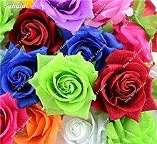 African Import Rose Perennial Multi Color Rosas
