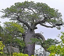 Afrikanischer Affenbrotbaum Adansonia digitata