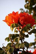 Afrikanischer Tulpenbaum Spathodea campanulata 100
