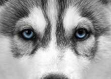 AG Design FTM 0862  Wolf Papier Fototapete,