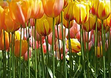 AG Design FTS 0045  Tulpen, Papier Fototapete -
