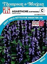 Agastache (Duftnessel) Astello Indigo von Thompson