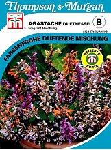 Agastache (Duftnessel) Fragrant Mischung von