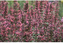 Agastache Kudos-Serie 'Coral' -R- -