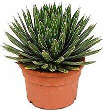 Agave, ca. 30 cm, Balkonpflanze wenig Wasser, Terrassenpflanze sonnig, Kübelpflanze Südbalkon, Agave victoria reginae, im Topf