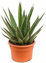 Agave, ca. 50 cm, Balkonpflanze wenig Wasser, Terrassenpflanze sonnig, Kübelpflanze Südbalkon, Agave triangularis, im Topf