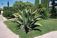 Agave FEROX, Jahrhundert-Pflanze Hardy Exotische