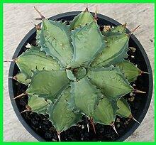 Agave potatorum Becky bunt pflanze seltene Pflanze nicht sansevieria adenium Pflanze