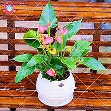AGROBITS 100Pcs / Bag Anthura Bonsai Blume
