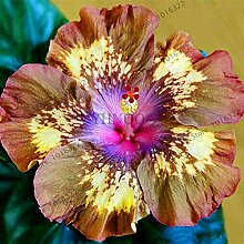 AGROBITS 100pcs / bag Hibiskus-Bonsai, 24 Art