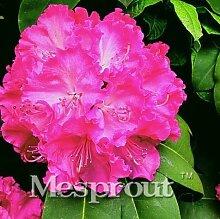 AGROBITS 100Pcs / bag Rare Bonsai Hot Rose & amp;