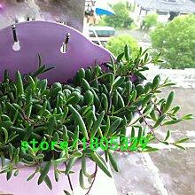 AGROBITS 100pcs / bag Spitz Perle Chlorophytum