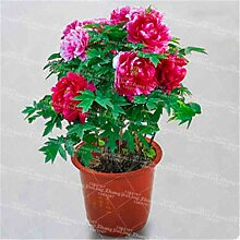 AGROBITS 10PCS / BAG Peony Bonsai Pflanze Blume
