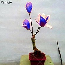 AGROBITS 10PCS Magnolia Bonsai Blume