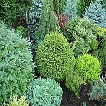 AGROBITS 20 Stück Japanese Black Pine Pflanze