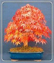 AGROBITS 20 Stück Bonsai blau Ahornbaum Bonsai