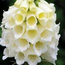 AGROBITS 200 Samen/Samen Fingerhut Blume Pflanzgut