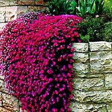 AGROBITS 200pcs / bag Mischfarbe Rock-Kresse