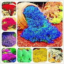 AGROBITS 200pcs / bag Rock-Kresse Thymian Bonsai