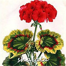 AGROBITS 200pcs Geranie plantas Perennial Bonsai
