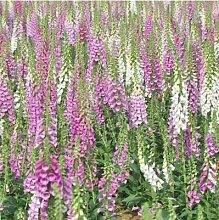 AGROBITS 200pcs / lot Fritillaria Fingerhut