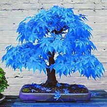 AGROBITS 20pcs Bonsai blau Pflanzen Bonsai-Baum