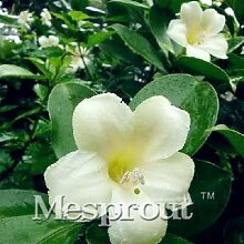 AGROBITS 20PCS Seltene Fagraea Ceilanica Bonsai