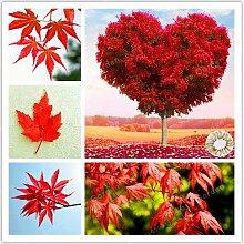 AGROBITS 20Pcs / Tasche Schöner Red Maple Tree