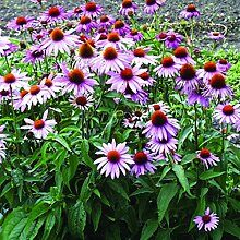 AGROBITS 250 Sonnenhut Seeds (Echinacea purpurea)