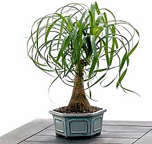 AGROBITS 30pcs Palm Bonsai Indoor s Home Home