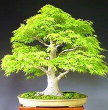 AGROBITS 40pcs / bag Ahornbaum Bonsai-Baum