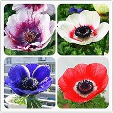AGROBITS 50 PC-Anemone Bonsai Hochzeit
