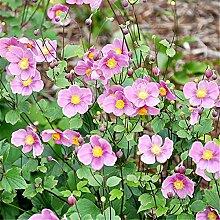 AGROBITS 50seeds Topf Blumen Anemone vitifolia