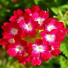 AGROBITS Best-Selling 100pcs / bag Geranie plantas