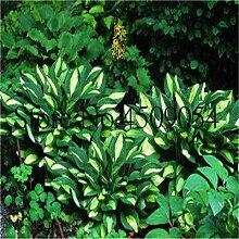 AGROBITS Bonsai 200 Stück Hosta duftend Funkie