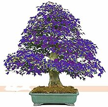AGROBITS Bonsai 2018 New Mpale Baum 30pcs / Blau