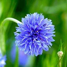 AGROBITS Cornflower Bonsai Vanille Blumen Blumen