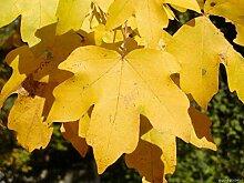 AGROBITS Fie treex12 /// Gartenbaum/Bonsai