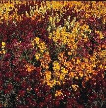 AGROBITS Flower - Wallflower - persischer Teppich